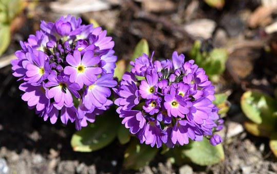 Primrose, Drumstick, Flower, Plant, Flowers, Purple