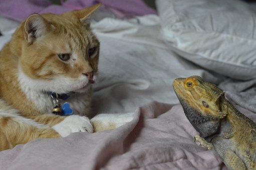 Feline, Cat, Reptile, Bearded Dragon, Eye To Eye