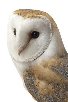 Barn Owl, Bird, Animal, Wild, Beak, Prey, Feather
