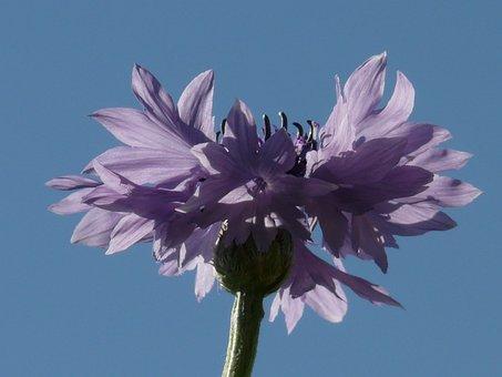 Knapweed, Cornflower, Pink, Light Pink, Flower, Blossom