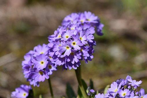 Primrose, Drumstick, Blue, Flowers, Spherical Shape