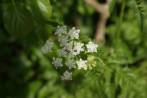 Flutes Herb, Nature, Spring, Plant, Wild Chervil