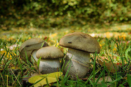 Fungus, Bolet Of Poplars, Food Duriusculum F, Robustum