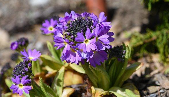 Primrose, Drumstick, Spring, Garden, Early Bloomer
