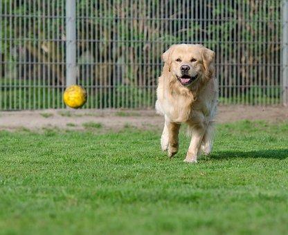 Golden Retriever, Animal Shelter, Dog Pension, Kennels