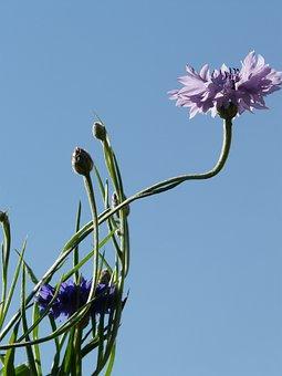 Cornflower, Stalk, Blue, Pink, Light Pink, Flower