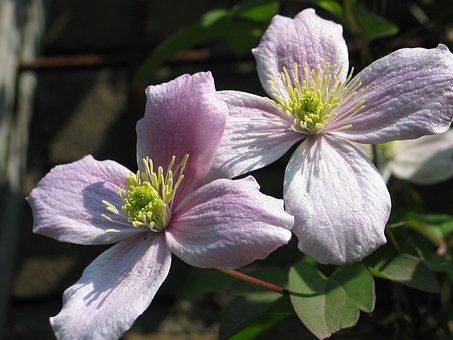 Clematis, Core, Pestle, Stamens, Flora, Flower, Lilac