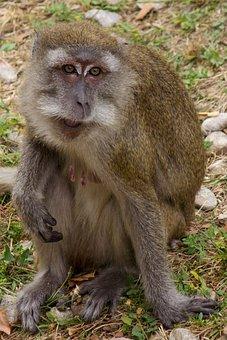 Javanese Monkey, Macaque, Makake, Monkey, Zoo