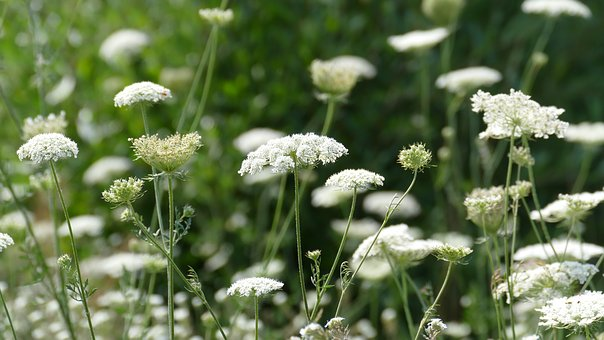 Meadow, Blossom, Bloom, White, Chervil, Wild Flowers