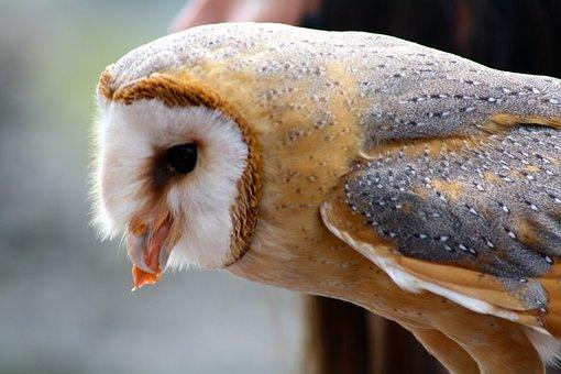 Barn Owl, Owl Feeding, Bird Of Prey Eating