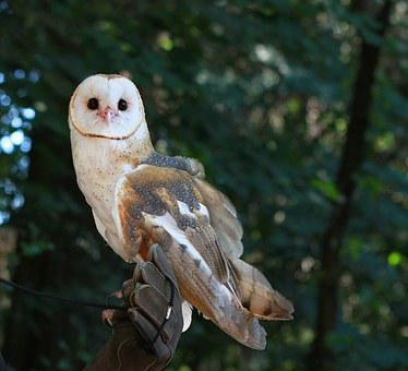 Barn Owl, Bird, Owl, Barn, Animal, Nature, Wildlife
