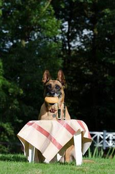 Malinois, Belgian Shepherd Dog, Picnic, Male, Dog Trick