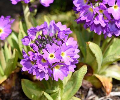 Primrose, Drumstick, Flower, Flowers, Purple, Plant