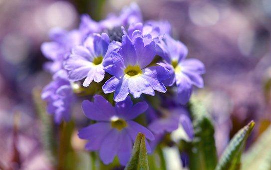 Drumstick, Blue, Primrose, Plant, Flower, Garden