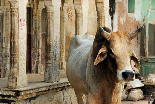 India, Rajastan, Shekawati, Mandawa, Sacred Cow