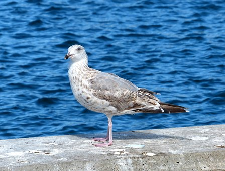 Bird, Seagull, Animal, Water Bird, Sea, Denmark, Laesoe
