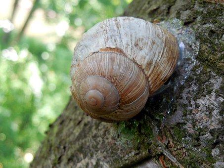 Snail, Shell, Escargots, Mollusk, Slowly, Helix Pomatia