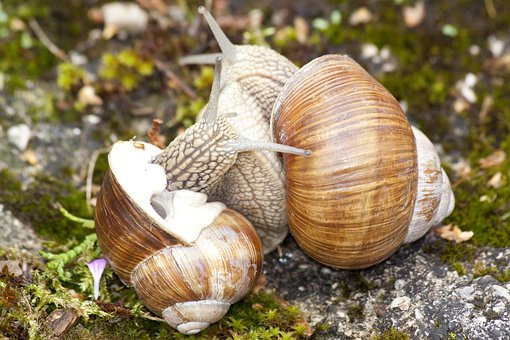 Snail, Snails, Helix, Spiral, Pomatia, Grass, Animal