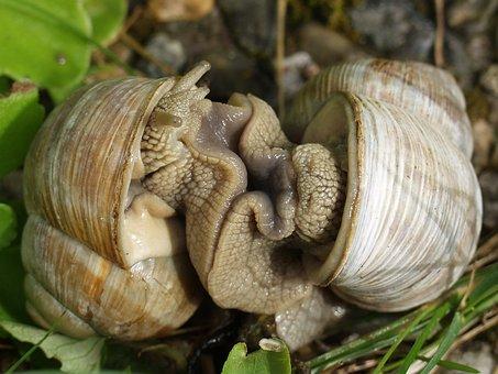 Slug, Snail, Seashell, Mating, Snails, Hermaphrodites