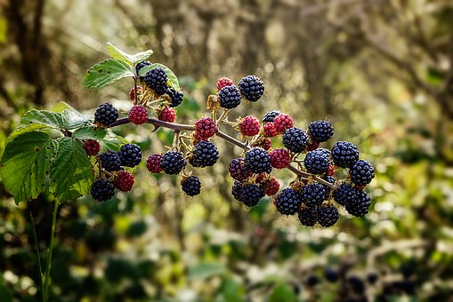 Bramble, Blackberry, Shrub, Thorny, Muron, Fruit, Black