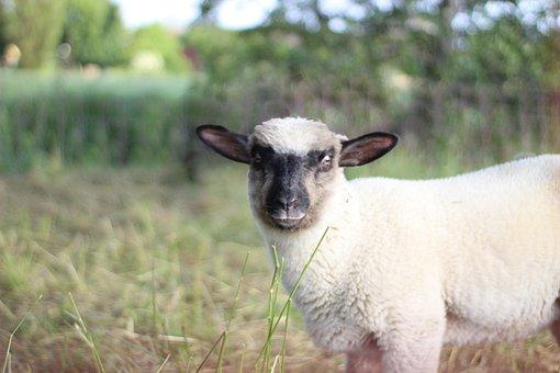 Sheep, Lamb, Animal, Pasture, Baby, Meadow, Summer