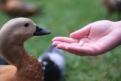 Duck, Bird, Nature, Animal, Swan