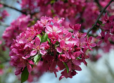 Apple Blossoms, Red, Pink, Spring, Branch