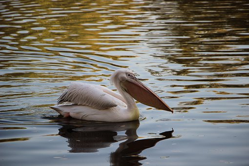 Bird, Water Bird, Pelican, Pond, Beijing