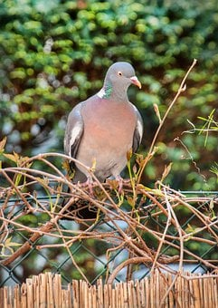Dove, Bird, Feather, Animal, Animal World, Wing, Nature