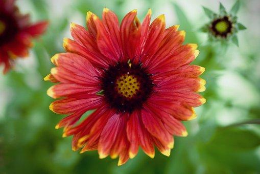 Gaillardia, Flower, Nature, Bloom