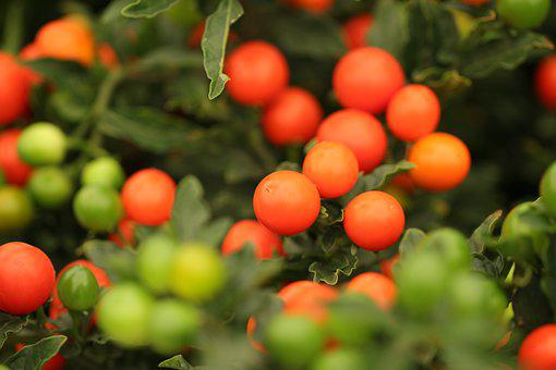 Decorative Berries, Berries, Solanum Pseudocapsicum