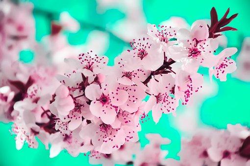 Flower, Cherry, Tree, Pink, Branch