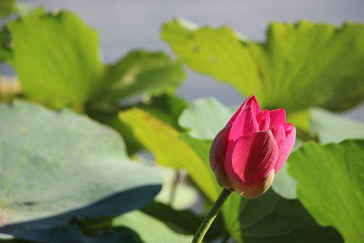 Flower, Lotus Flower, Blossom