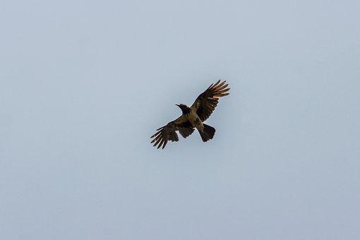 Crow, Bird, Freedom, Wild World