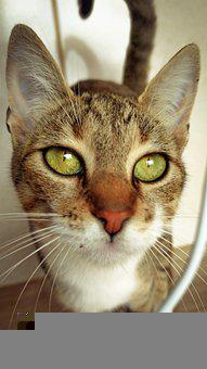 Cat, Brown Cat, Striped Cat, Green Eyes, Green-eyed Cat
