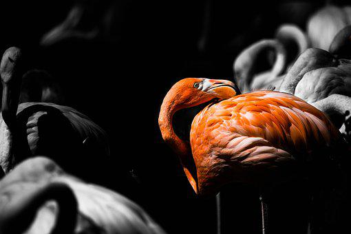 Flamingo, Herd, Swarm, Sleeping, Pink, Birds, Animal
