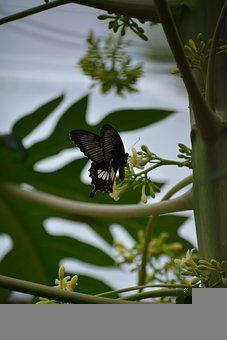 Butterfly, Insect, Flower, Green, Papaya Tree