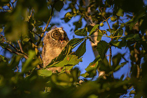 Long-Eared Owl, Asio Otus, Owl, Wildlife