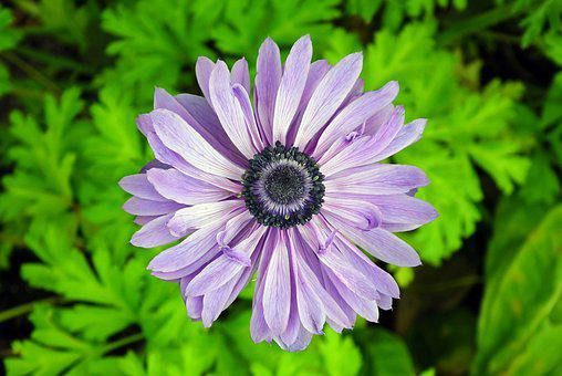 Flower, Anemone, Spring, Garden, Plant, Macro