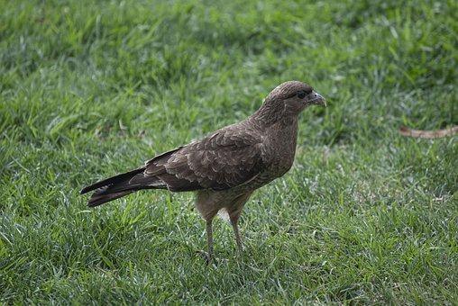 Ave, Montagu, Birds Of Prey, Fauna, Nature