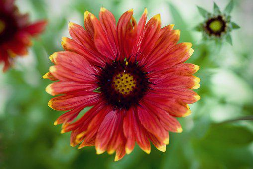 Gaillardia, Flower, Nature, Bloom, Colorful, Plant, Red