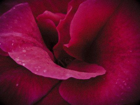 Pink, Twilight, Flower, Flora, Plant, Nature, Close Up