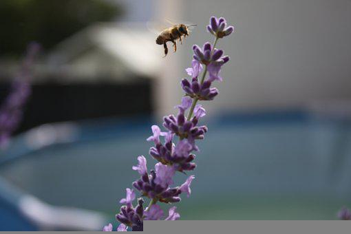 Lavendel, Sommer, Lavender, Garden, Nature, Summer