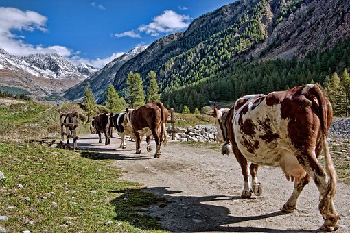 Herd, Cows, Pasture, Valle D'aosta, Cogne, Italy