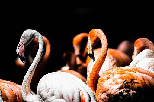 Flamingo, Herd, Swarm, Sleeping, Pink