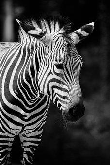 Zebra, Africa, Poaching, Wildlife, Horse