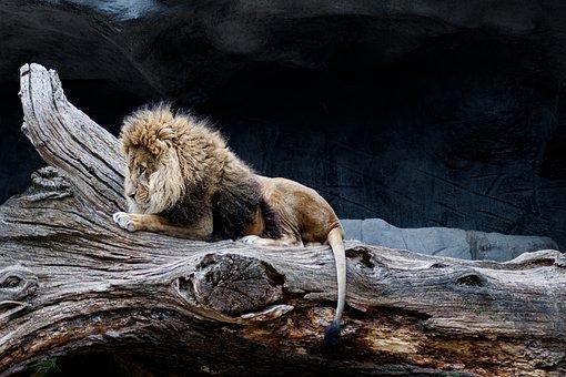 Lion, Predator, Africa, Animal World
