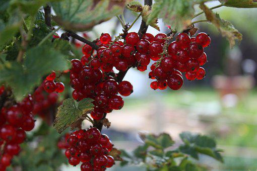 Johannesbeere, Sommer, Summer, Red, Food