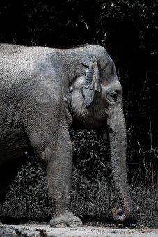 Elephant, Africa, Safari, Savanna