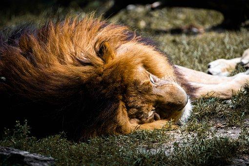 Lion, Africa, Sleeping, Animal, Predator